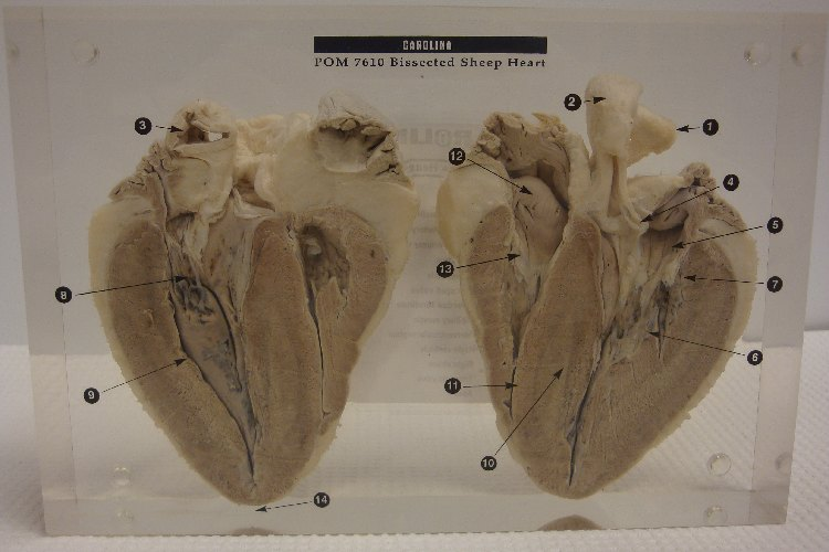 Sheep Heart Dissection Lab Anatomy And Physiology Images - human ...
