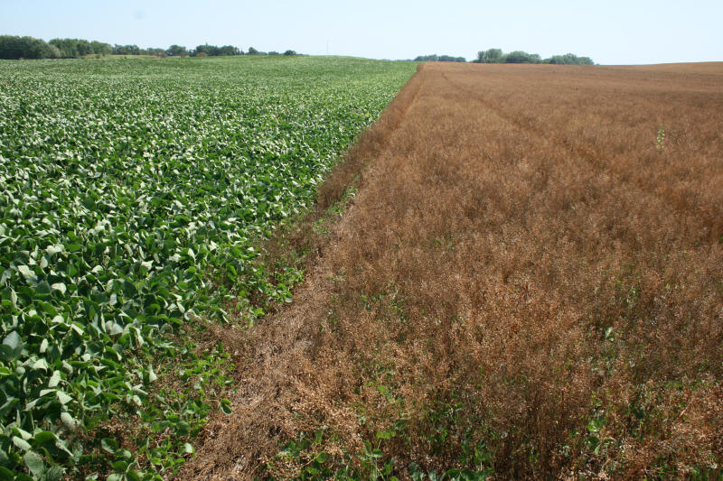 roundup soybeans Asgrow® roundup ready 2 xtend® soybeans have the first biotech trait in soybeans that combines glyphosate and dicamba herbicide tolerance hear how roundup ready 2.